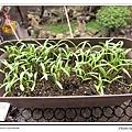 黃波斯菊-播種5~6天.jpg