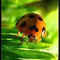 微照小瓢蟲