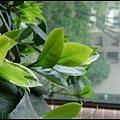 1 茶花樹.JPG