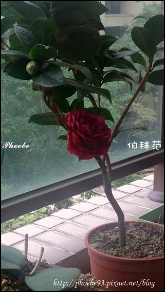 20141108茶花首發-3.JPG