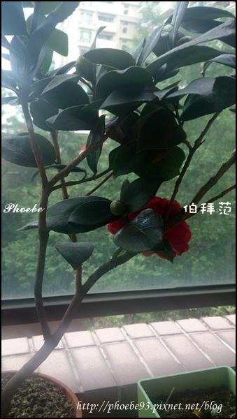 20141108茶花首發-2.JPG