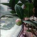 茶花20141213.JPG