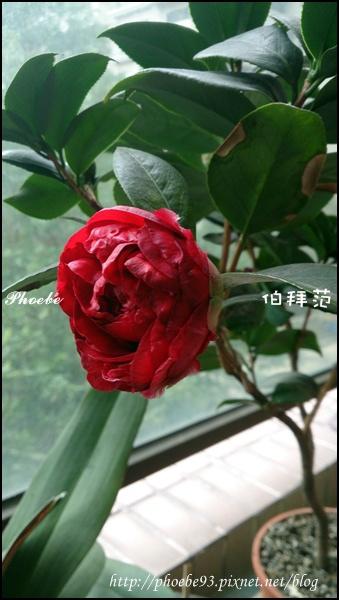 茶花20150111-1.JPG