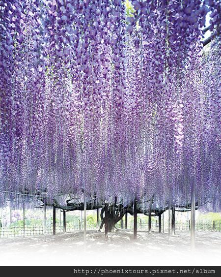 紫藤花img03_01_d