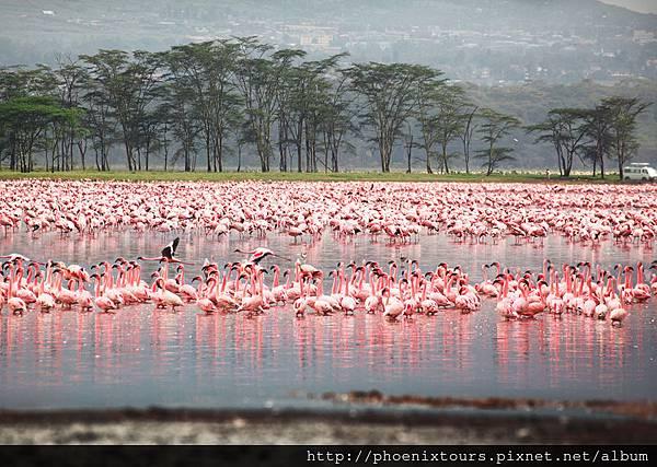 shutterstock_108443474肯亞紅鶴.納庫魯湖國家公園