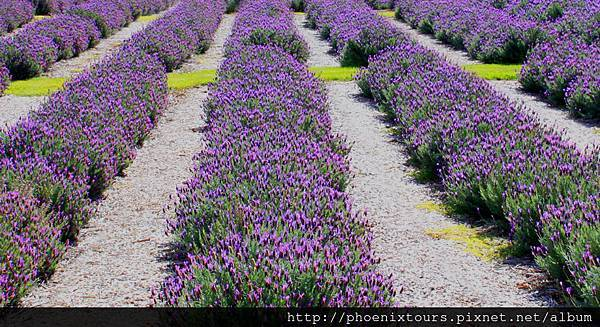 Lavender_Farm_Image_for_website-2