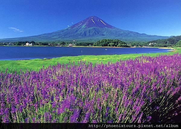 富士山與薰衣草(大石公園)山梨縣提供