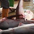 8 鯊魚 (3)