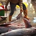 8 鯊魚 (4)
