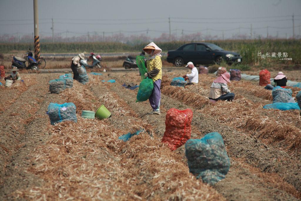 紅蔥頭採收是算斤的 (2)