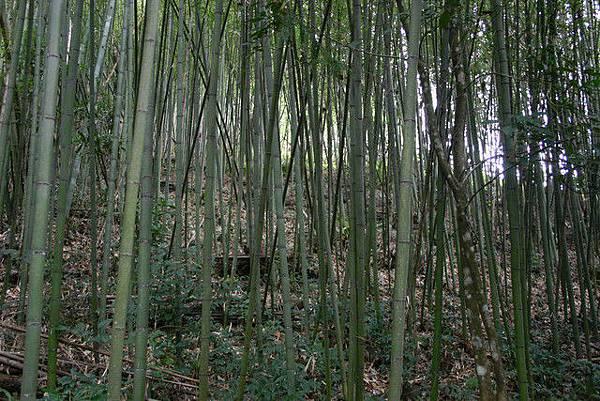 但是林投姐明明不住竹林裡