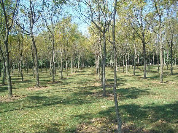 這一排排的樹