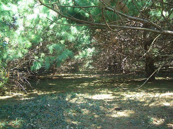 這一排針葉樹