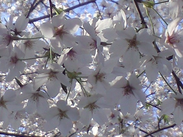 天氣好, 趕快用手機拍一下櫻花特寫