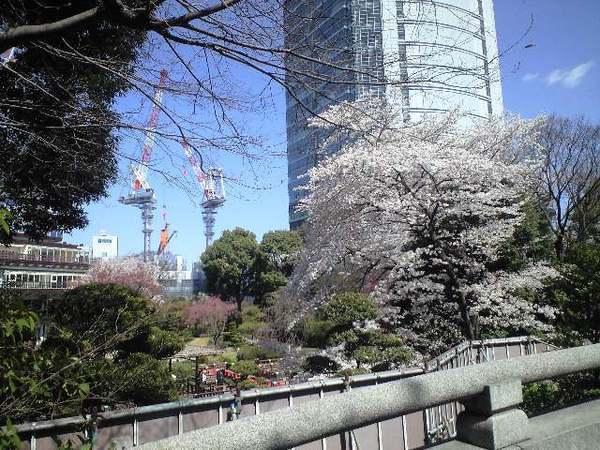 上班必經神社裡最出名的櫻花樹