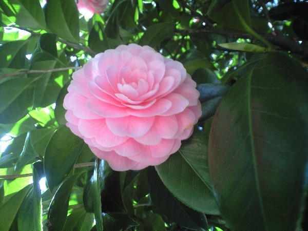 除了櫻花,這個不確定是什麼的花也開得很美