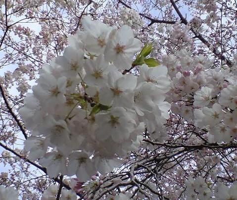 櫻花尾 02