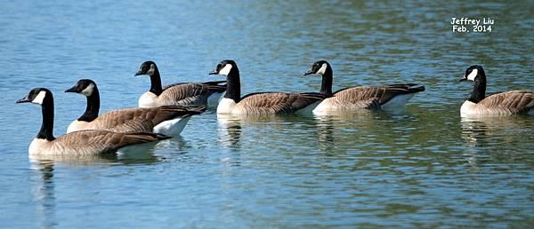 Canada Goose DSC_0290