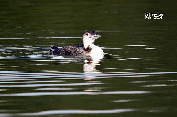 Common Loon DSC_0322