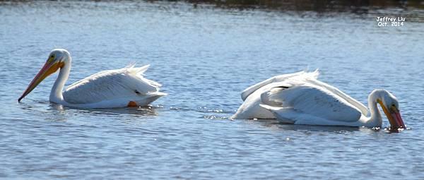 Pelican White DSC_1117