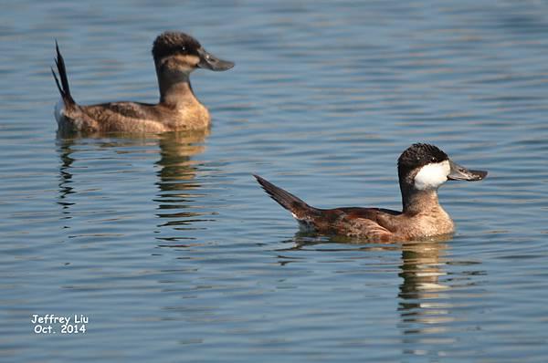 Ruddy Duck DSC_1356