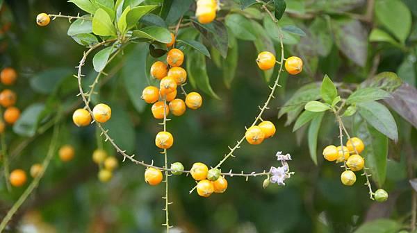 DSC07785.JPG   金露花橙黃果實