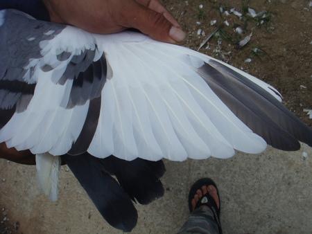 11-西翁母翅.jpg