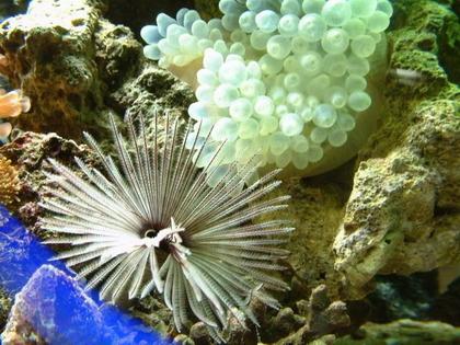 海水魚--管蟲、海葵
