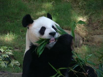 香港--海洋世界熊貓(三)