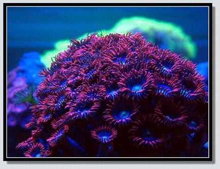 珊瑚--鈕扣