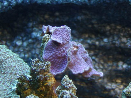 珊瑚--紫木耳