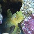 海水魚--黃金蝦虎