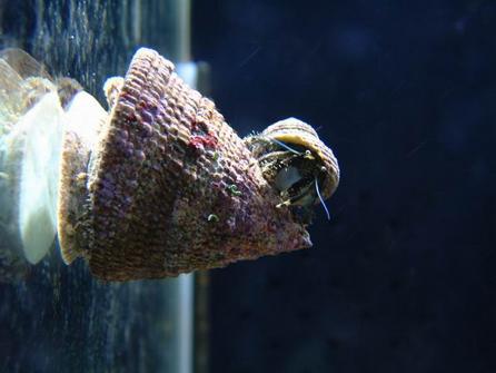 甲殼--鐘螺、寄居蟹