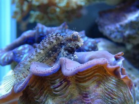 海水魚--花豹