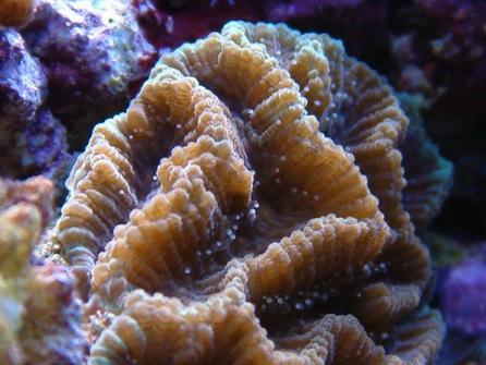 珊瑚--菊花