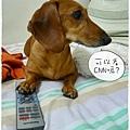 雞腿愛看電視.02
