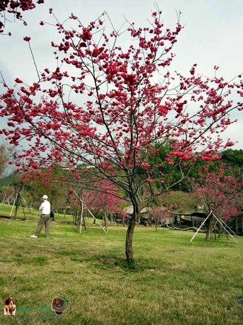 櫻花林03