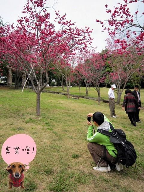 櫻花林05