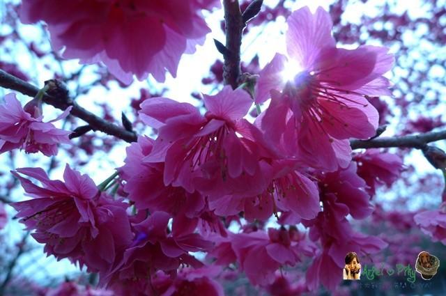 櫻花林06