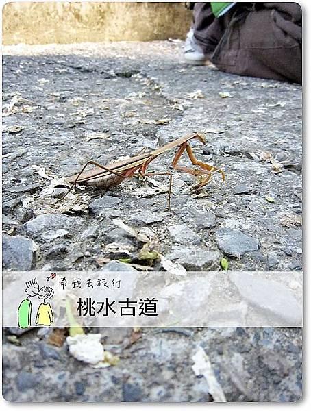 油桐花09