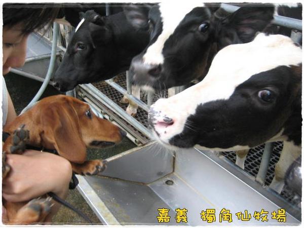 嘉義縣/中埔/獨角仙牧場