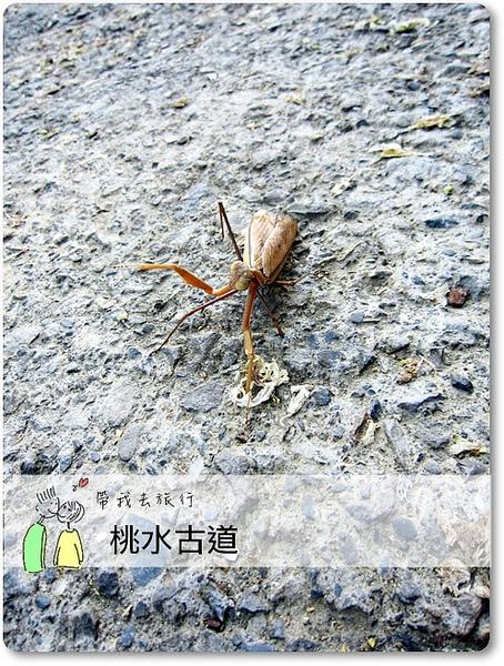 油桐花10