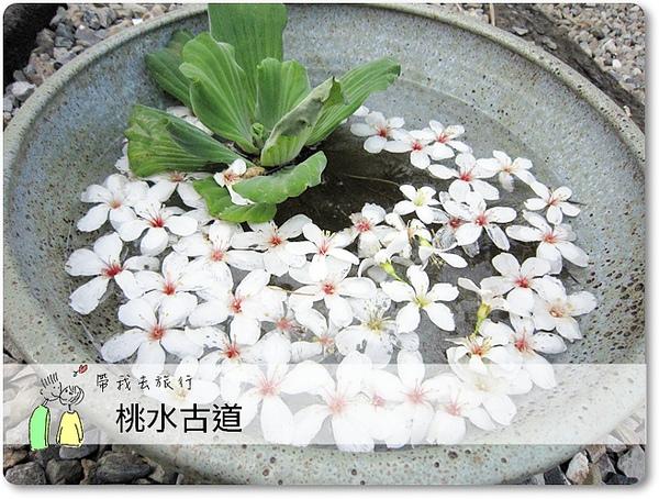 油桐花12