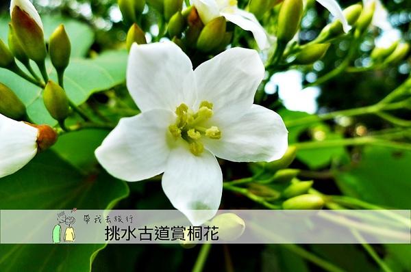 油桐花32