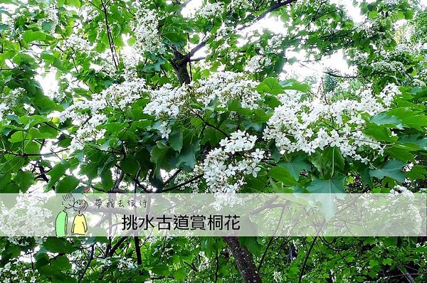 油桐花33