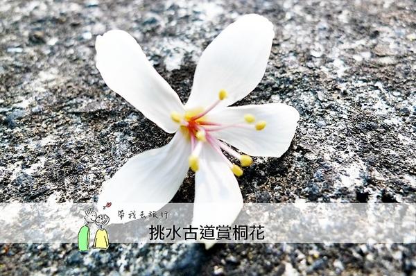 油桐花34