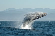 220px-Jumping_Humpback_whale