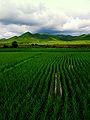 稻米 (3).jpg