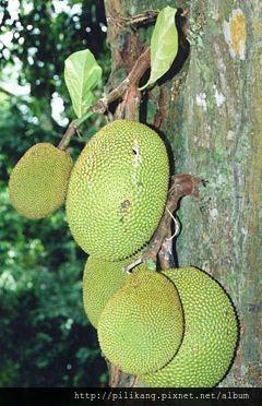 240px-Artocarpus_heterophyllus_fruits_at_tree