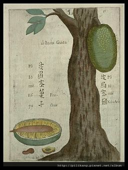 256px-Flora_Sinensis_-_Jackfruit